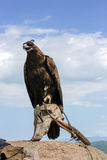 Pradaria Eagle Fotos de Stock