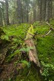 Pradawny las blisko Salatin przy Nizke Tatry obraz royalty free