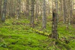 Pradawny las blisko Salatin przy Nizke Tatry zdjęcia stock