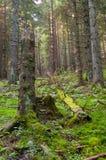 Pradawny las blisko Salatin przy Nizke Tatry obraz stock
