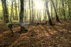 Pradawny las na Darss zdjęcie stock