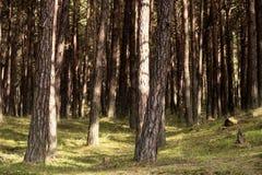 Pradawny las na Darss obraz stock
