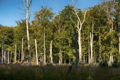 Pradawny las na Darss zdjęcia royalty free