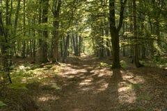 Pradawny las na Darss zdjęcia stock