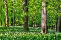 Pradawny las pod Krizna przy Velka Fatra obraz stock