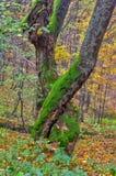 Pradawny las przy Kremnicke Vrchy górami obraz royalty free