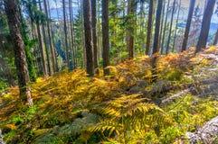 Pradawny las przy Zachodni Tatrzańskim zdjęcia stock