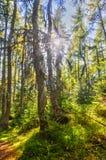 Pradawny las przy Zachodni Tatrzańskim zdjęcie royalty free