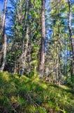 Pradawny las przy Zachodni Tatrzańskim obrazy stock