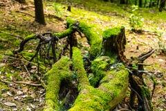 Pradawny las z zdjęcia stock