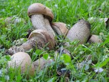 Pradera do la de Unos cuantos hongos de otoño en imagens de stock royalty free