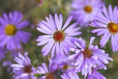 Pradera en la floración Fotos de archivo libres de regalías