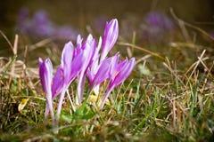 Prado-açafrão violeta na grama Imagens de Stock Royalty Free