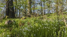 Prado agradable de la flor de la primavera en Bohemia del norte imagen de archivo libre de regalías
