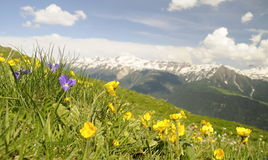 Prado alpino con las flores Imagenes de archivo