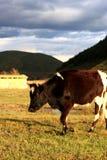 Prado alpino da vaca Fotos de Stock Royalty Free
