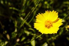 Prado amarelo da margarida contra um céu azul Fotos de Stock