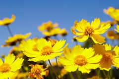 Prado amarelo da margarida contra um céu azul Imagem de Stock