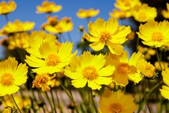 Prado amarelo da margarida contra um céu azul Imagens de Stock Royalty Free