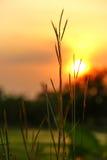 Prado amarelo seco da grama no por do sol Foto de Stock
