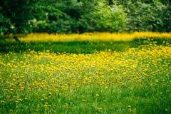 Prado amarillo de los dientes de león de las flores de la primavera Imágenes de archivo libres de regalías