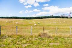Prado australiano típico con las ovejas Imágenes de archivo libres de regalías
