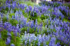 Prado azul dos Lupines fotografia de stock royalty free