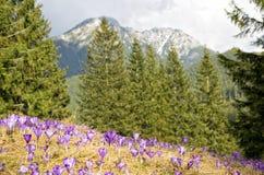 Prado bonito com açafrões roxos de florescência no fundo das montanhas Fotos de Stock Royalty Free
