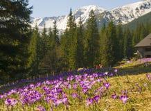 Prado bonito com açafrões roxos de florescência no fundo snowcaped das montanhas Imagem de Stock