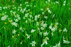 Prado bonito completamente do narciso em montanhas Carpathian fotos de stock royalty free