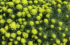 Prado coberto com os lotes de flores amarelas selvagens fotografia de stock royalty free