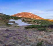 Prado com açafrões contra da montanha em Carpathians no sunse Foto de Stock Royalty Free