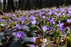 Prado com açafrões selvagens na floresta Imagem de Stock
