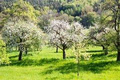 Prado com as árvores de fruto de florescência Imagem de Stock Royalty Free