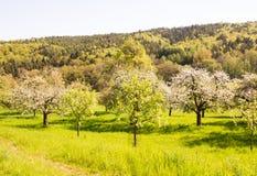 Prado com as árvores de fruto de florescência Foto de Stock