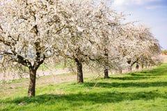 Prado com as árvores de fruto de florescência Imagens de Stock