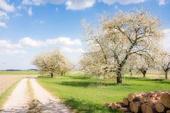 Prado com as árvores de fruto de florescência Fotografia de Stock