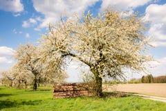 Prado com as árvores de fruto de florescência Foto de Stock Royalty Free