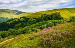 Prado com as flores roxas em montanhas Carpathian no verão Imagens de Stock