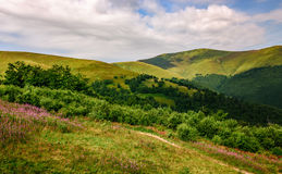 Prado com as flores roxas em montanhas Carpathian no verão Imagem de Stock Royalty Free