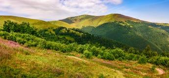 Prado com as flores roxas em montanhas Carpathian no verão Imagem de Stock