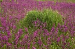 Prado com as flores selvagens bonitas no verão Fotografia de Stock