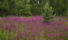 Prado com as flores selvagens bonitas no verão Fotografia de Stock Royalty Free