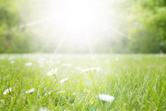 Prado com Daisy Flowers, espaço da cópia, Sun e luz do sol Fotografia de Stock