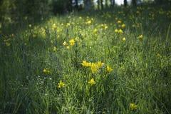 Prado com flores amarelas Imagem de Stock Royalty Free