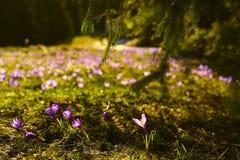 Prado com flores da mola Imagem de Stock