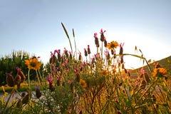 Prado com flores e alfazema de florescência no sol da noite Fotos de Stock Royalty Free