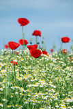 Prado com flores selvagens Imagens de Stock Royalty Free