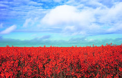 Prado com flores vermelhas Imagem de Stock Royalty Free