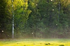 Prado com fluff do Poplar Foto de Stock Royalty Free